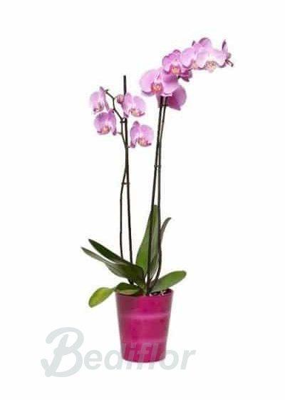 Planta Orquidea Regalo Domicilio