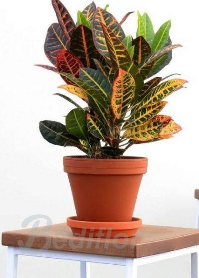 Planta Crotón