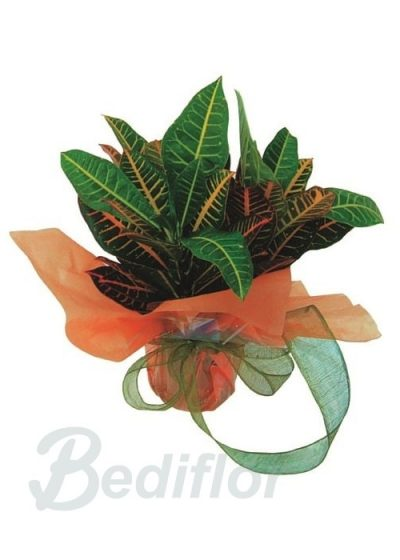 Croton Planta Regalo Decorada Domicilio