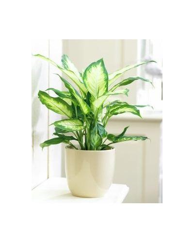 Planta Dieffenbachia
