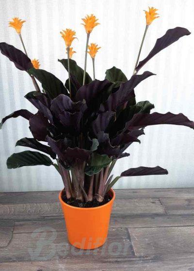 Enviar Planta Crocata