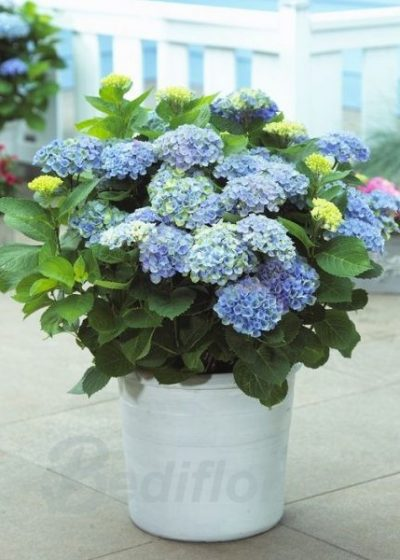 Hortensia de color morado