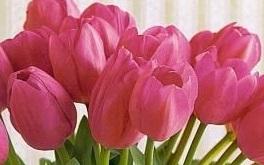 Tulipanes rosados en ramo